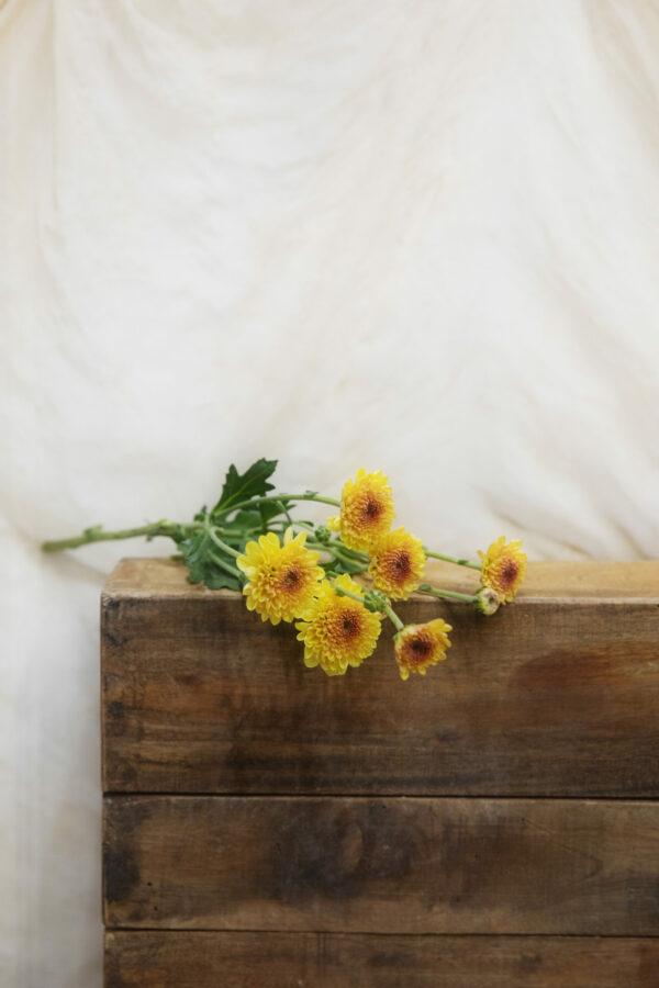 국화 (Chrysanthemum)